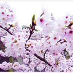 岡城惣役所跡近辺、大手門参道入り口駐車場360°全天球映像4月3日 2016年 (3/4)