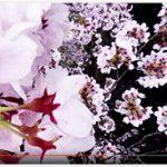 岡城惣役所跡近辺、大手門参道入り口駐車場360°全天球映像4月3日 2016年 (4/4)