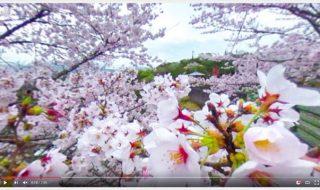 岡城桜まつり、岡城惣役所跡近辺