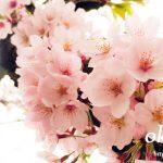 岡城の桜 桜まつりの写真