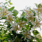 岡城の箱根百合を見に行きましょう。箱根百合の開花時期は7月中旬、とても香りの良い花です。