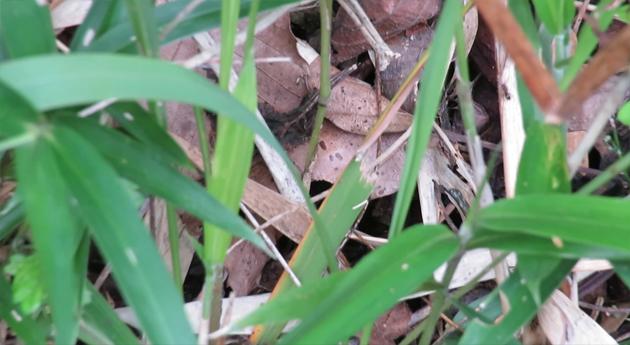 マムシの潜む茂み