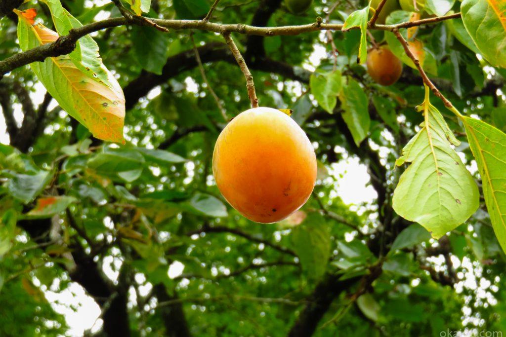 西中仕切の渋柿