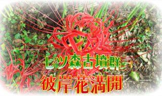 第19回七ツ森彼岸花祭り、彼岸花が満開の時期です。