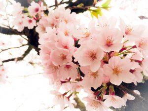 岡城の桜 4月
