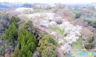 岡城跡 桜回廊 桜の馬場の写真 Vol.6