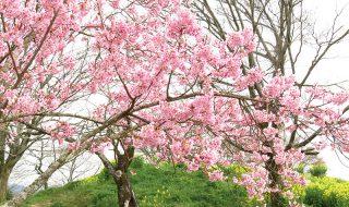 【 お花見 】陽光桜が見頃です 岡城跡 の 桜開花状況 と おすすめ花見スポット  天空の城 九州竹田城