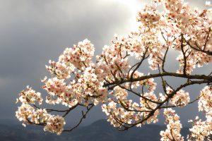 桜 満開 岡城跡 二の丸 天空の城 九州竹田城