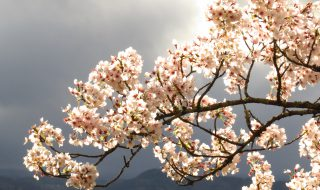 桜 満開 岡城跡 天空の城 九州竹田城