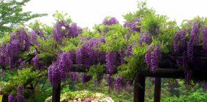 二の丸と三の丸の境の藤の花