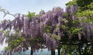 岡城の藤棚 藤の花