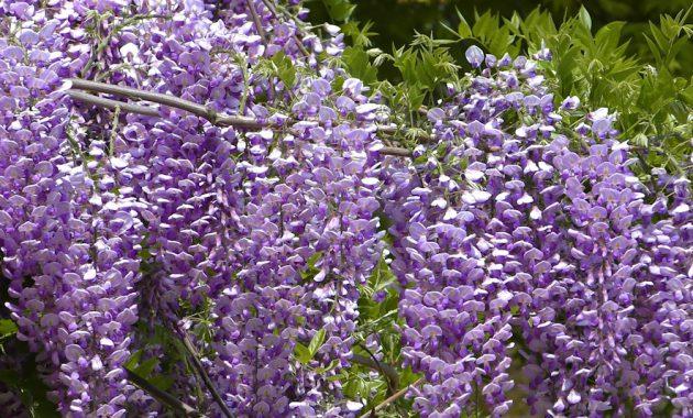 動画 岡城の藤棚 藤の花