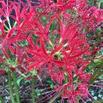 真紅の花が古代遺跡を覆い尽くす 彼岸花の名所 七ツ森古墳群 現在の開花状況 20170915