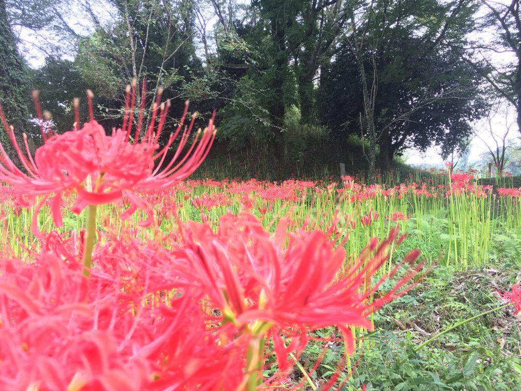 真紅の花が古代遺跡を覆い尽くす 彼岸花の名所 七ツ森古墳群 現在の開花状況 20170919