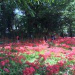 彼岸花が満開となりました 七ツ森古墳群 彼岸花 開花状況 20170925